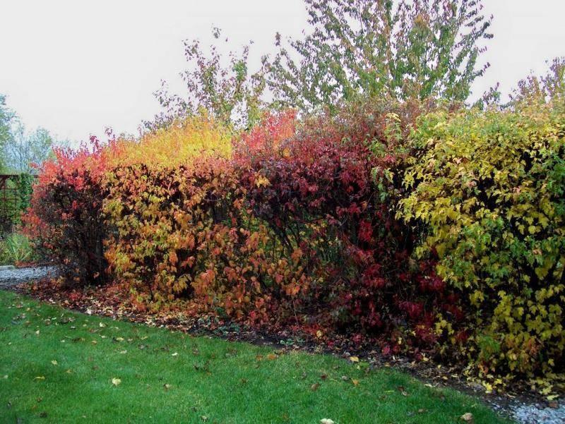 Быстрорастущая живая изгородь - 100 фото лучших вариантов применения в ландшафтном дизайне