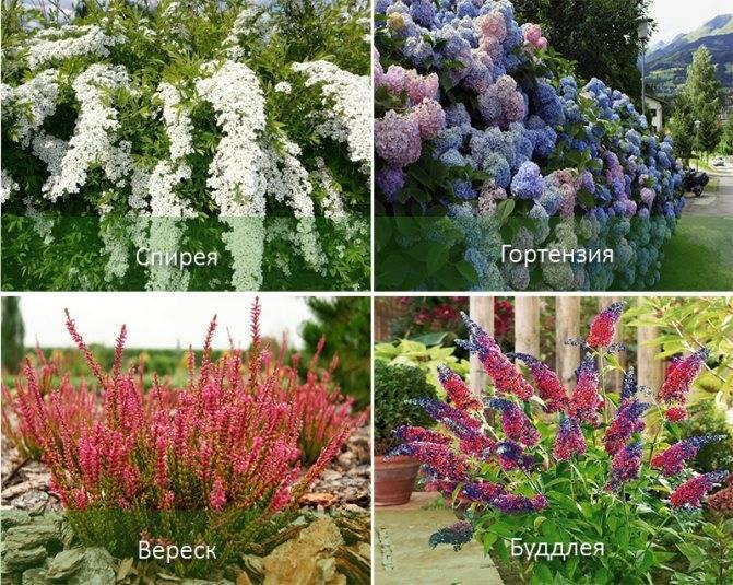 Многолетние кустовые цветы для сада: названия, фото и описание
