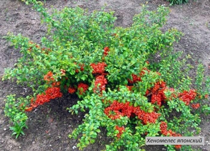 Айва японская: фото и описание кустарника, посадка и уход за растением