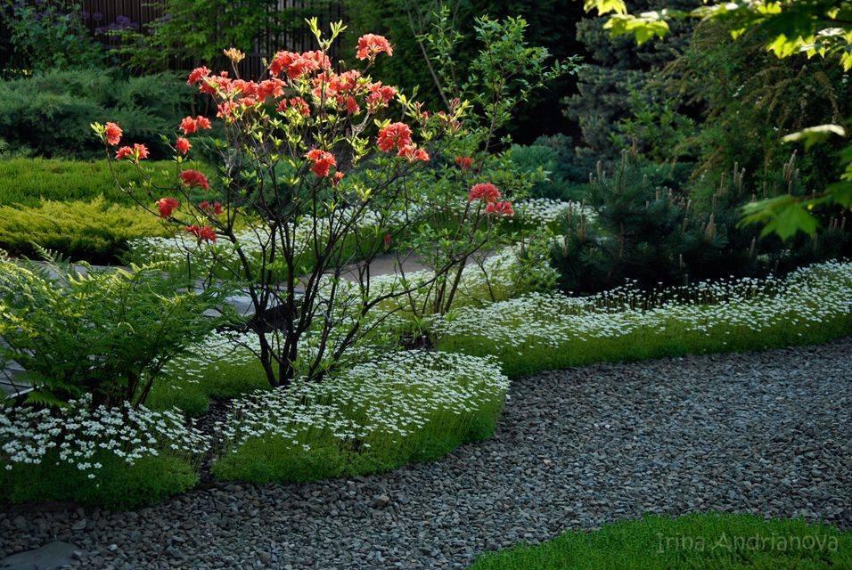Айва японская - полезные свойства плодов, выращивание и посадка, уход и размножение растения с фото