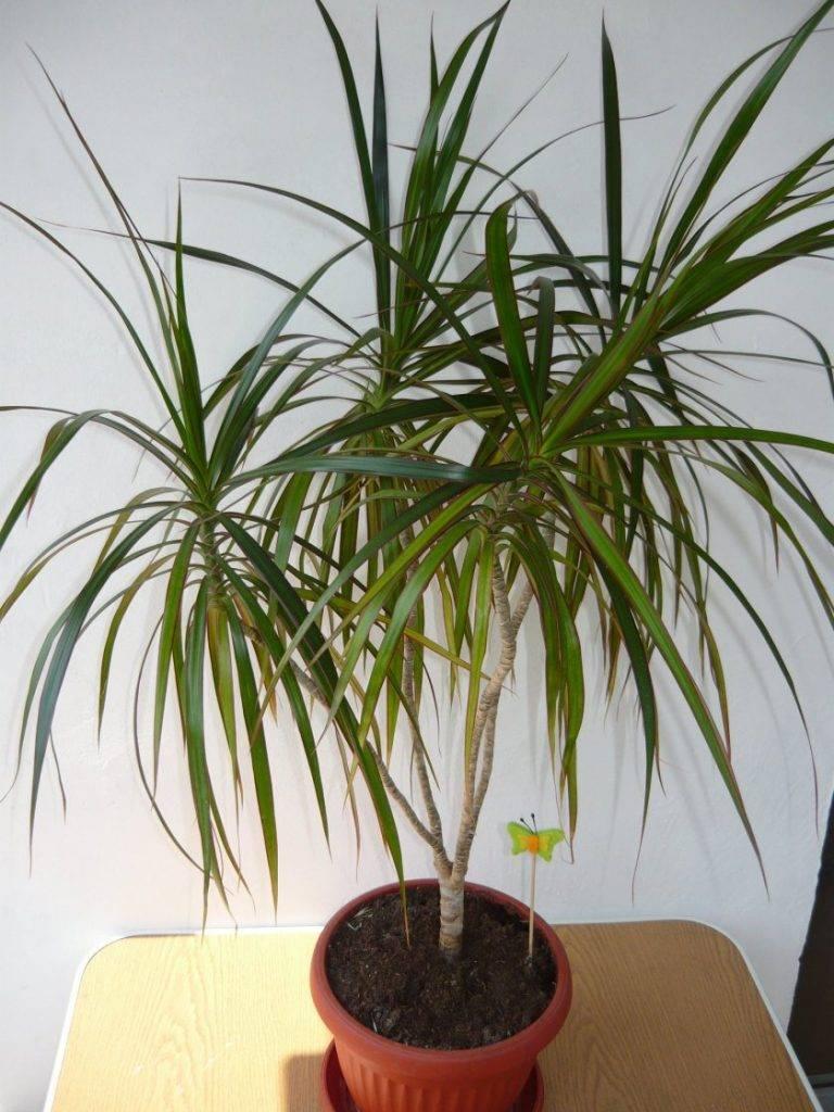 Панданус: уход в домашних условиях, можно ли держать цветок в комнате, краткое описание сортов, как размножить пальму и есть ли от неё польза или вред?