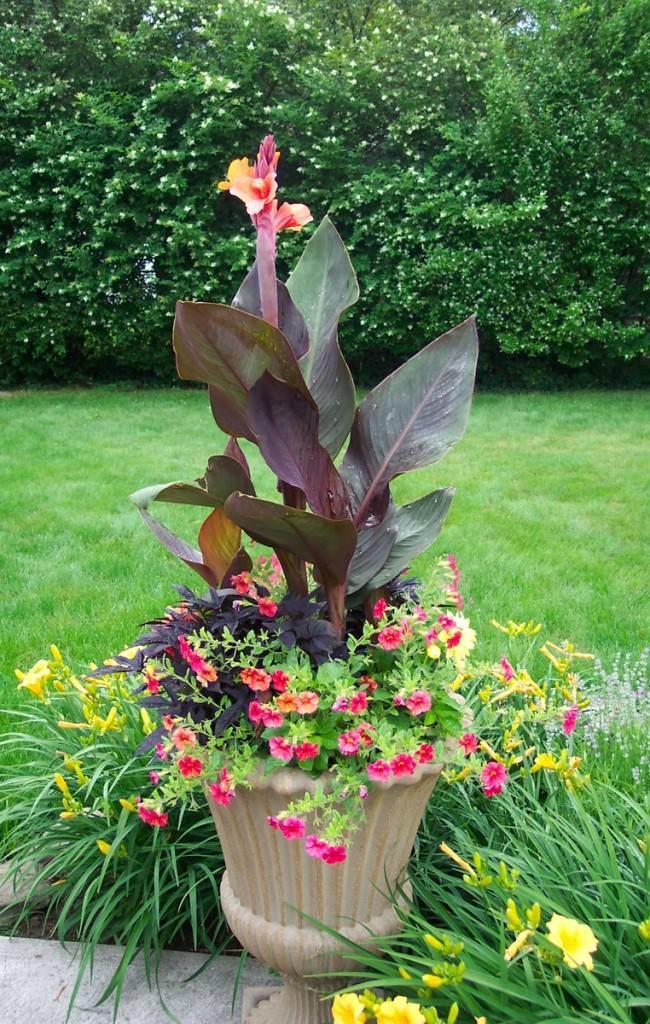 Посадка и уход за цветком канна (22 фото): выращивание в саду в открытом грунте. как ухаживать в домашних условиях? как сажать растение в квартире?