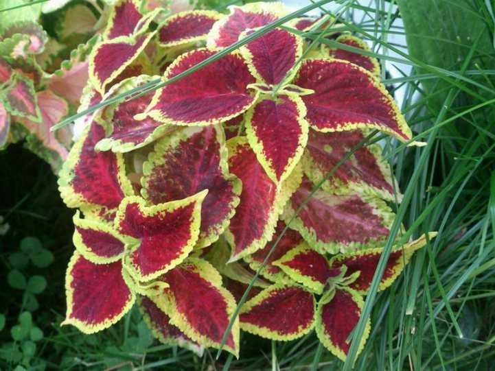 Колеус: посадка и уход в открытом грунте, особенности выращивания на дачном участке
