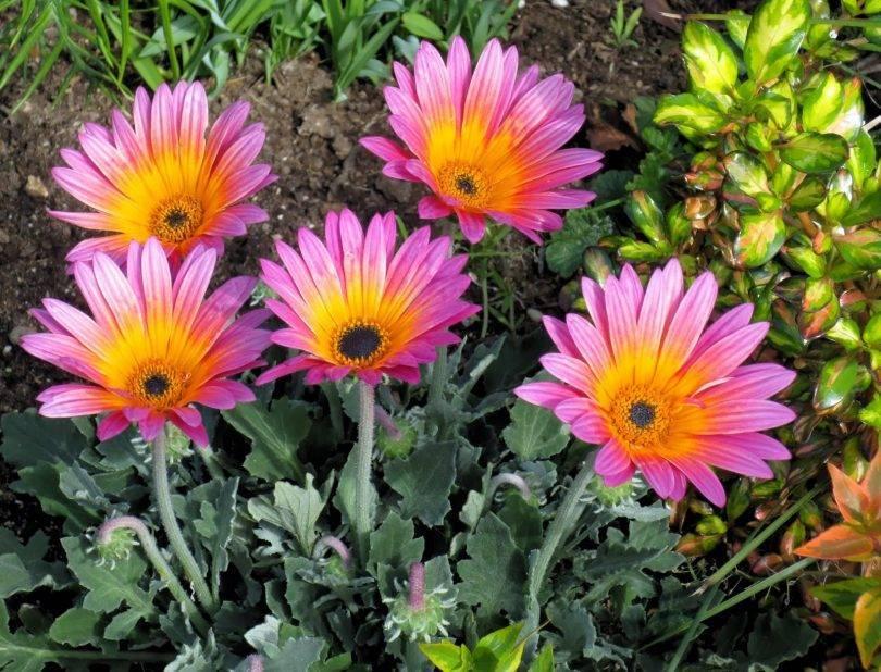 Многолетние цветы для дачи, цветущие все лето