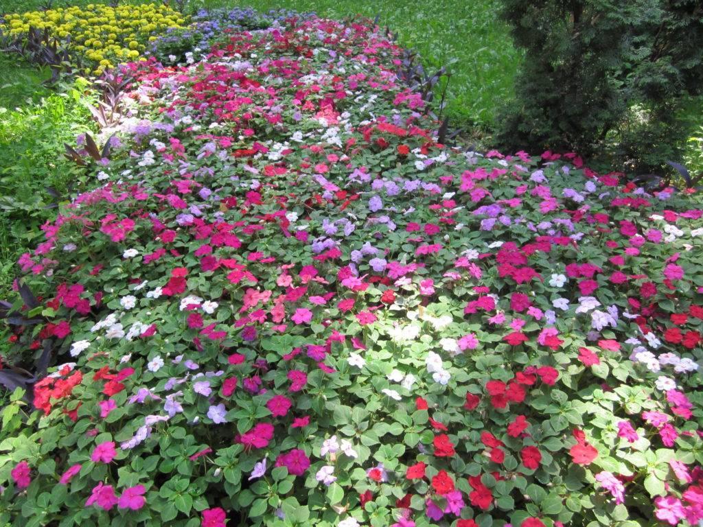 Садовый бальзамин: фото, посадка и уход за травянистым растением для открытого грунта, а также выращивание основных и многолетних видов цветка на уличной клумбе русский фермер