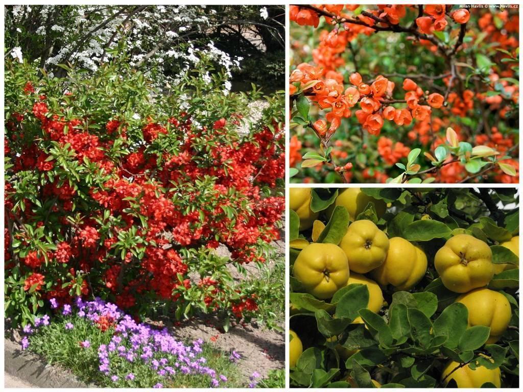 Японская айва в саду, посадка, уход и фото композиций